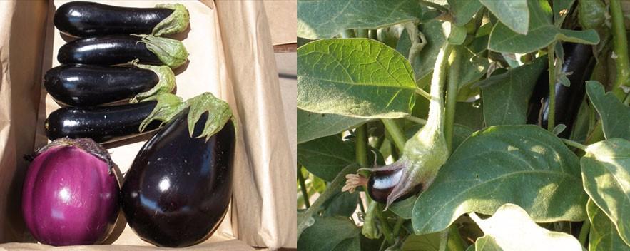 slide_eggplant
