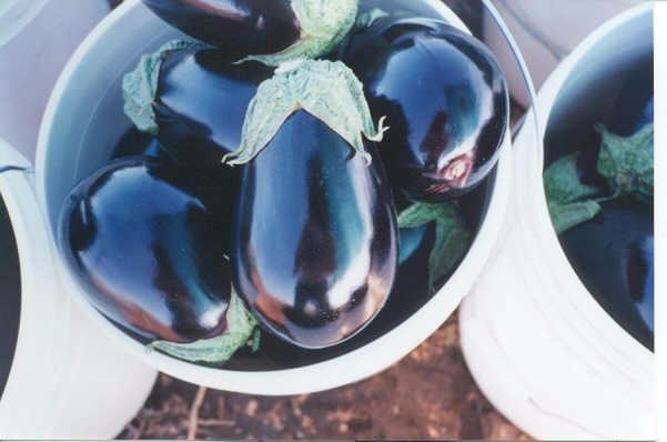 Eggplant in bucket