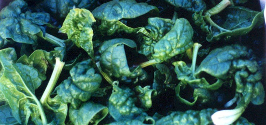 Loose Bloomsdale Spinach