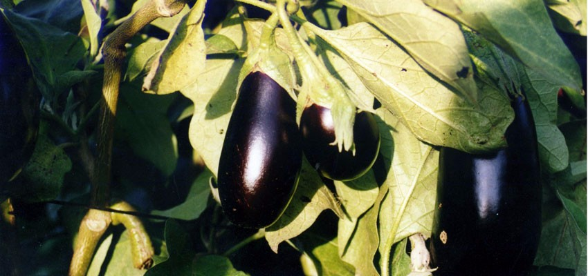 aubergine on the vine