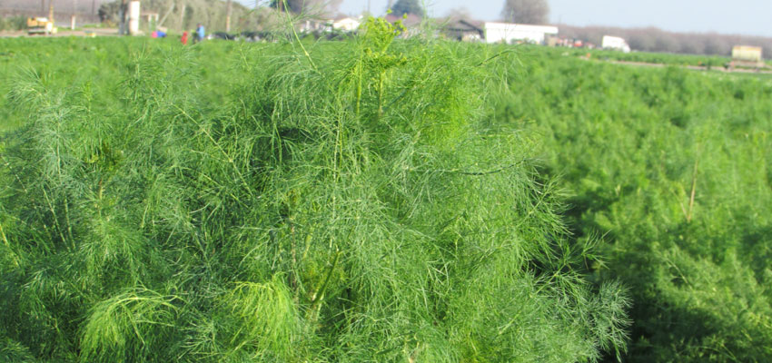 fennel in the field