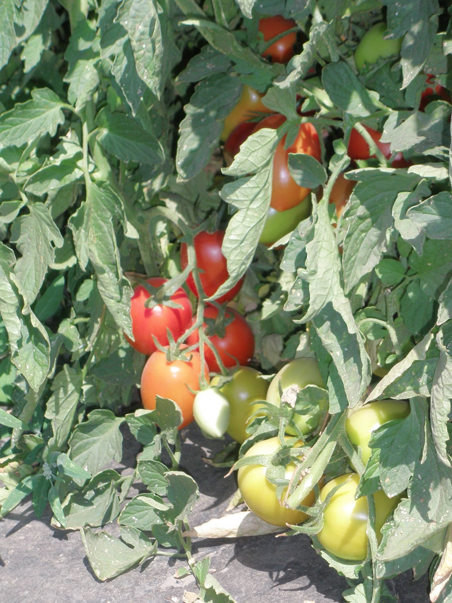 tomatoes-on-vine