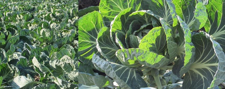 slide_cabbage