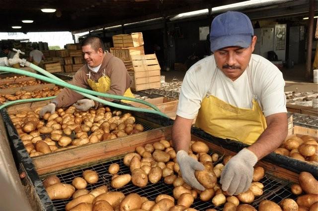 Joel and Gabby sort-pack Russet potatoes