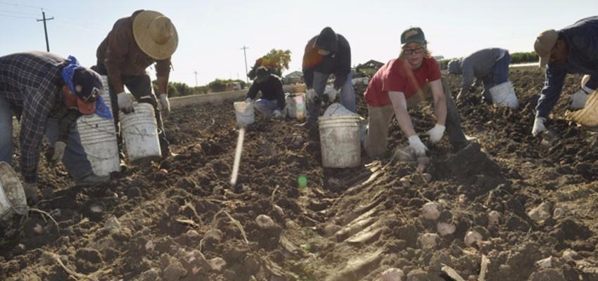 Potato harvest glare
