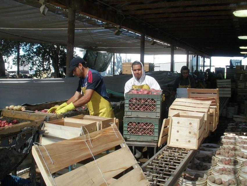workers-clean-potatoes