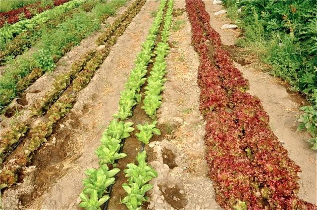 lettuce-in-field