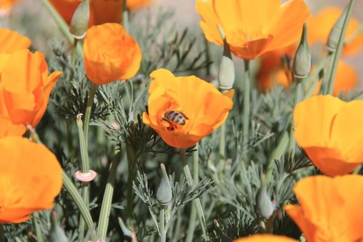 poppy-bee